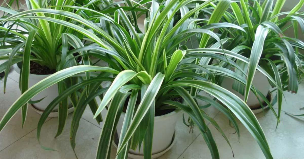Article3-植物篇-波士頓腎蕨-吊蘭